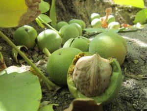 فروش گردو با پوست سبز
